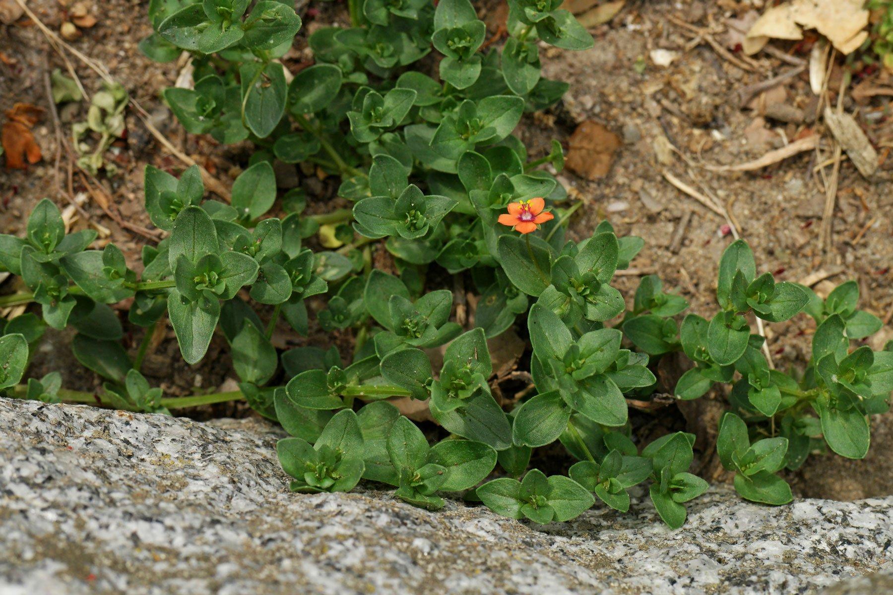 Acker-Gauchheil Blätter