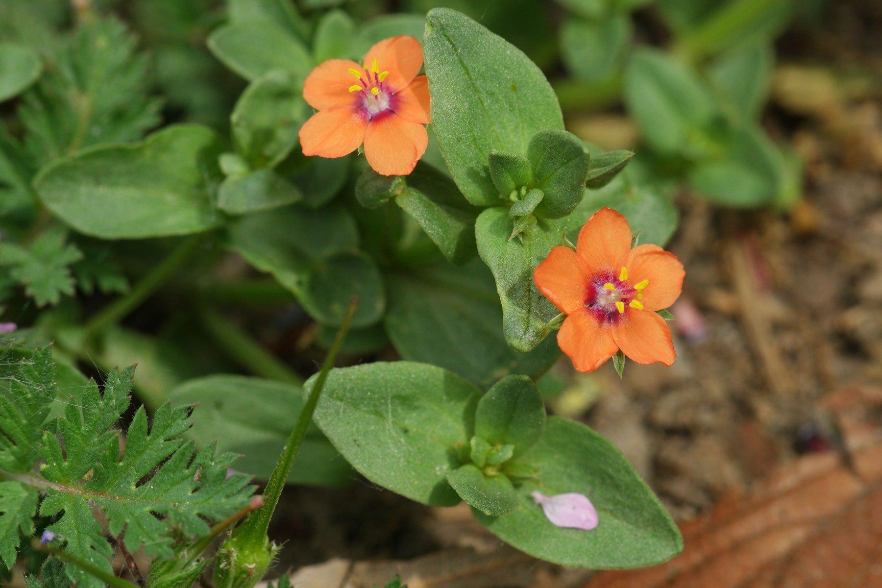 Acker-Gauchheil Blüten