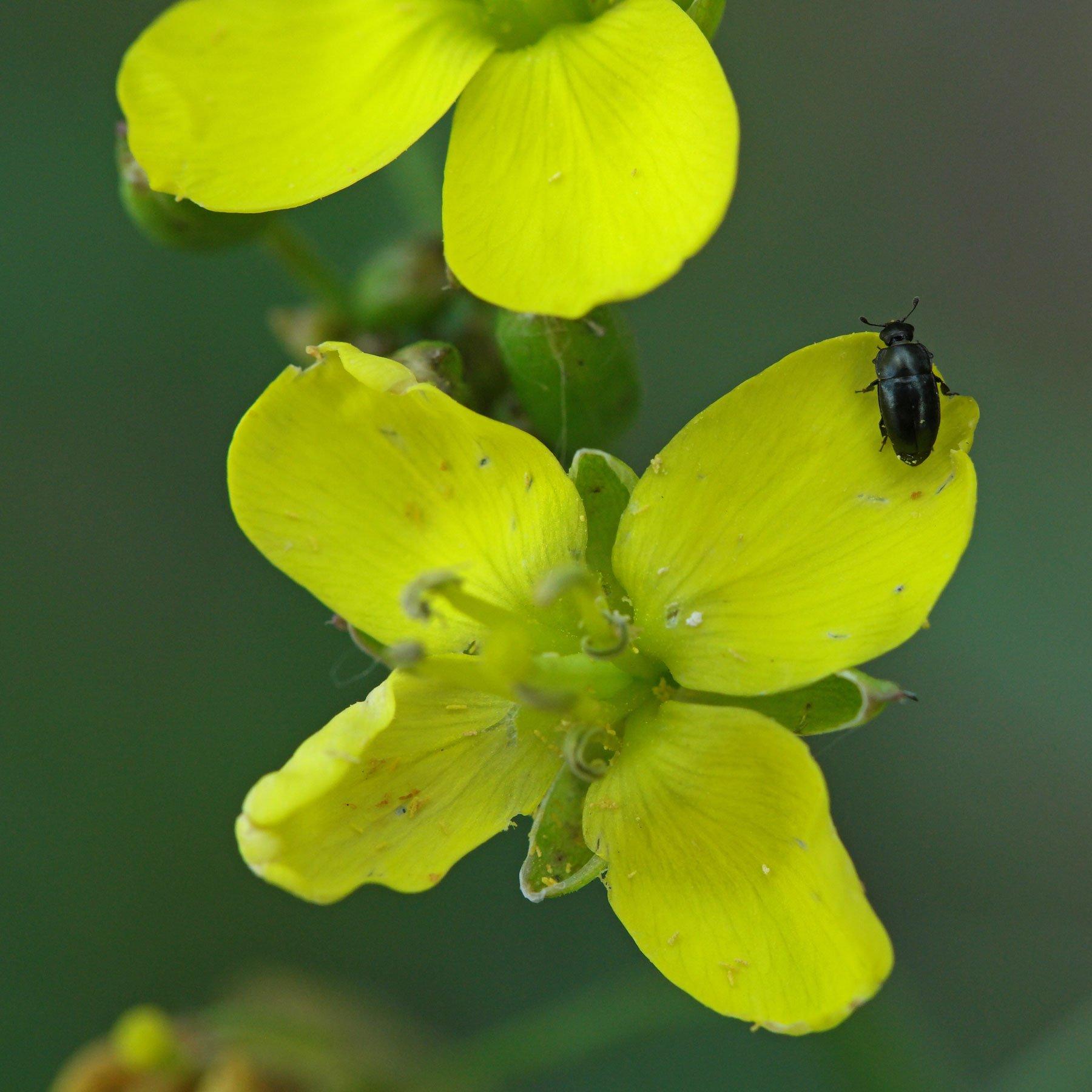 Rucola Blüte mit Rapsglanzkäfer