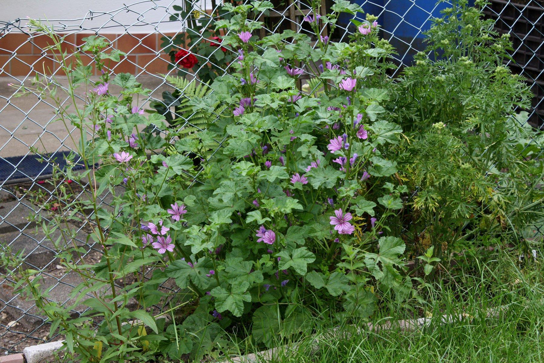 Wilde Malve im Garten