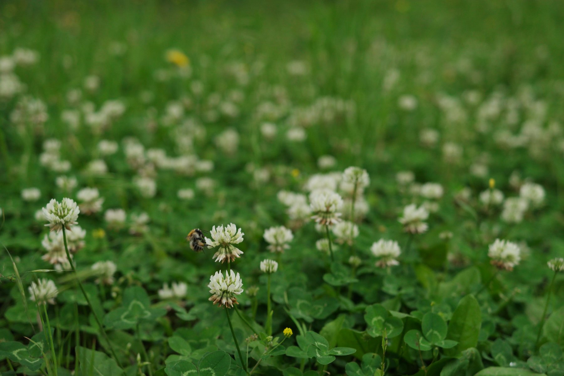 Weißklee mit Wildbiene